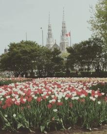 Ottawa Tulips. Image by Heather Button. Copyright © http://heatherbutton.com