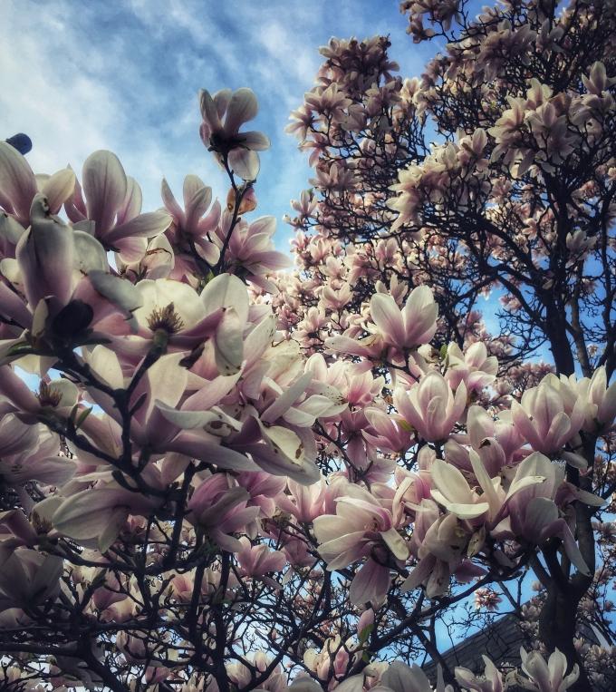Magnolia. Image by Heather Button – Copyright © http://heatherbutton.com